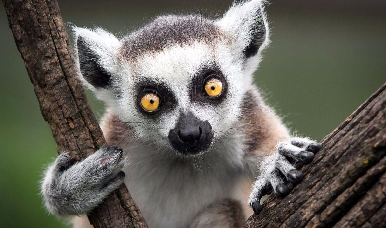 Un lémur de Madagascar, el animal más típico de esta isla tan especial del Índico